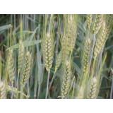 Пшениця озима Мідас 1 репродукція