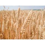 Пшениця озима Балатон 1 репродукція