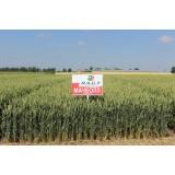 Пшениця озима Мачболл 1 репродукція