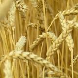 Пшениця озима Адессо 1 репродукція