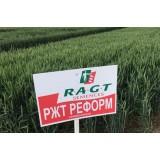 Пшениця озима РЖТ Реформ 1 репродукція