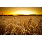 Пшениця озима Гаудіо 1 репродукція