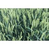 Пшениця озима Практік 1 репродукція