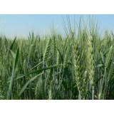 Пшениця озима Галліо 1 репродукція